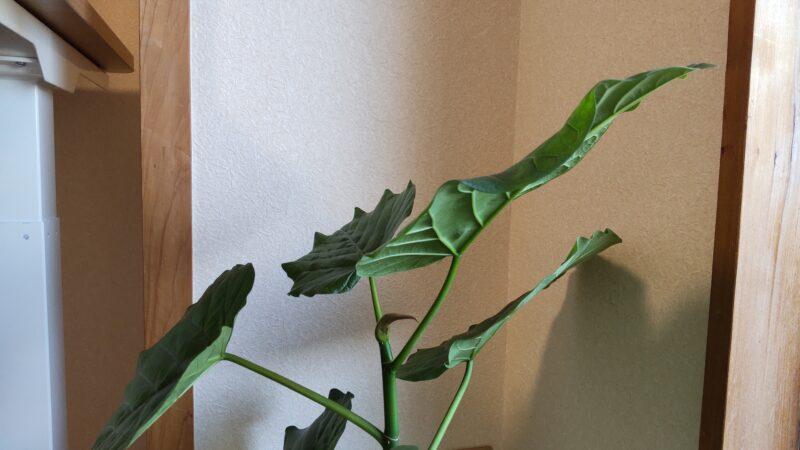 ウンベラータの葉が光の方向に傾く。