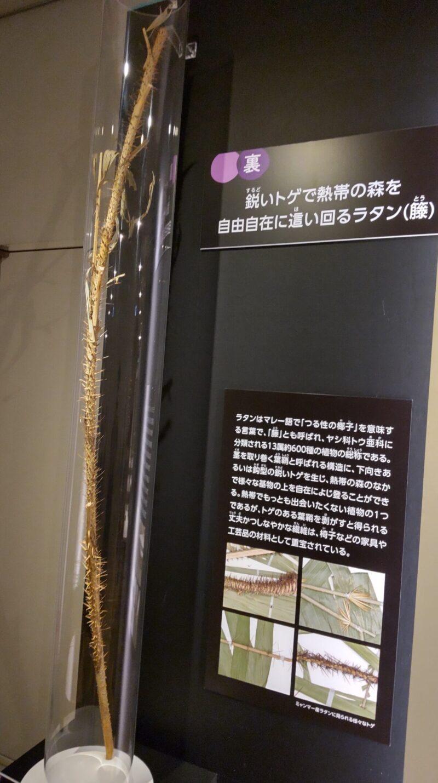 植物のラタン